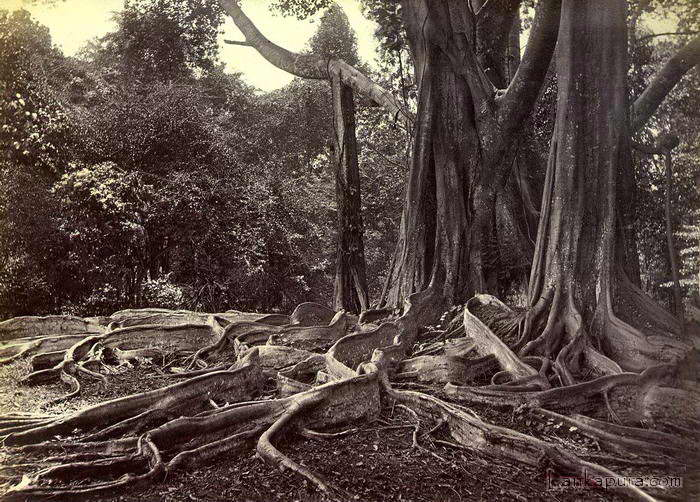 Giant ubber tree_ ceylon.jpg