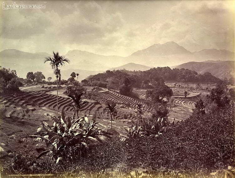 Paddy fields_ Baddulla_ Ceylon_ late 1800_s.jpg