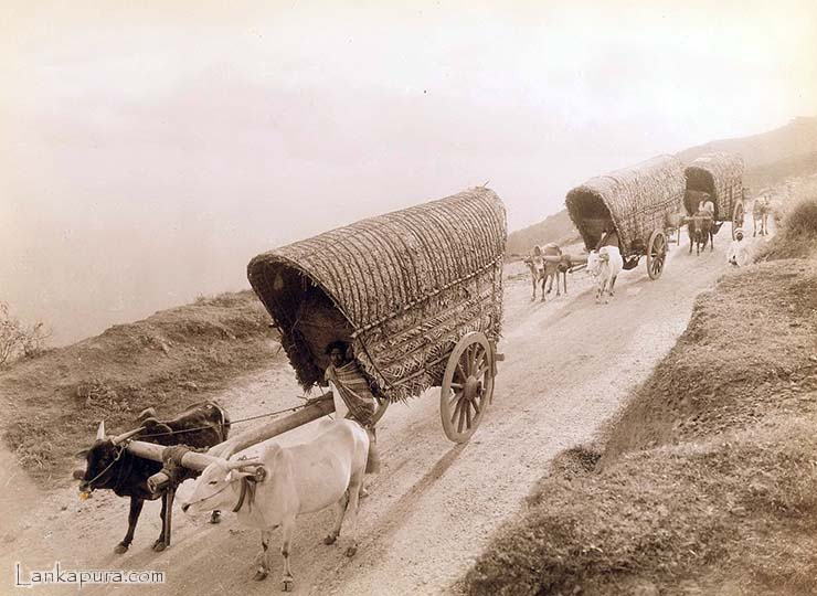 oxen and man pulling thatched wagons