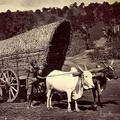 Bullock Cart and Driver, Ceylon