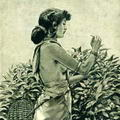 Tamil girl picking tea leaves 1886