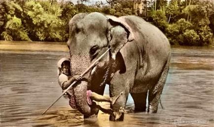 ELEPHANT AT KATUGASTOTA RIVER, CEYLON 1940s