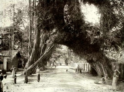 Old Banyan Tree Crossing Kalutara Road