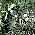 Workers at the Lipton Bandara Eliya Tea Estate in, Ceylon