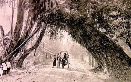 Banyan tree at Kalutara