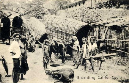 Branding Cattle, Ceylon