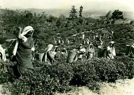 Workers at the Lipton Bandara Eliya Tea Estate in, Ceylon #IMG
