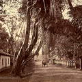 Old fig tree on the Colombo Galle Road, near Kalutara 1875