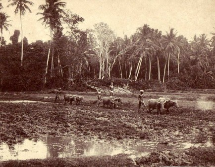 Water buffalo is used to plough the paddy fields