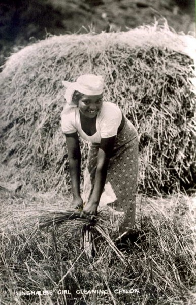 Sinhalese girl working in paddy field threshing rice Harvest, Sri Lanka