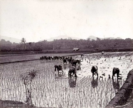 Traditional hand methods (Transplanting) of cultivating Rice 1880