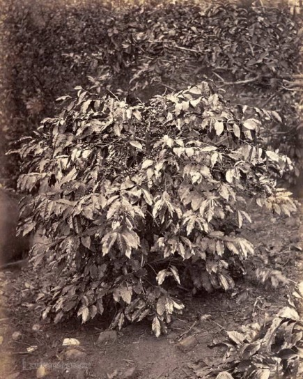 Coffee Bush Ceylon 1883