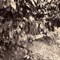 cocoa plant with cocoa fruits