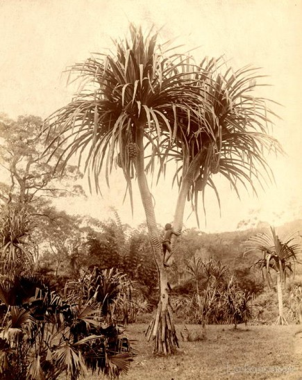 Pandanus Palm tree, Ceylon 1880 - 1885