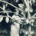 A Girl Harvesting Cocoa Pods