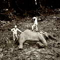 Trophy Hunting Elephant in Ceylon c.1880