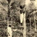 Tapping Rubber in Ceylon