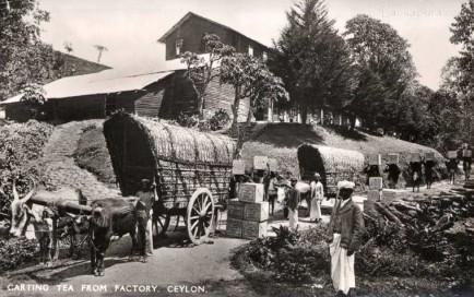 Bullock carts transport Tea from factory, Ceylon 1930s