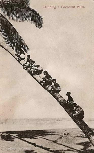 Native children Climbing a coconut palm tree, Ceylon