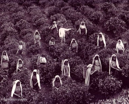 Tea Pluckers in Sri Lanka early 1900s