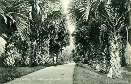 Talipot palms, Peradeniya Botanical Gardens, Ceylon Late 1800s