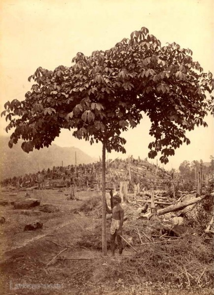 Clearing forests to plant Tea, Ceylon c.1880