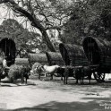 Bullock Wagons Colombo 1930s