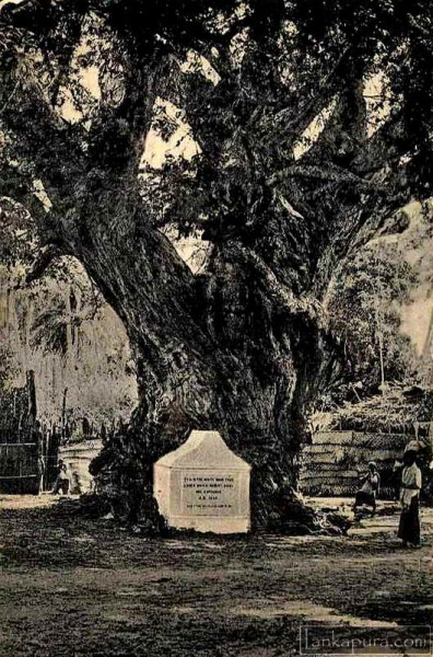 White Man's Tree at Trincomalee Ceylon