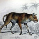 Dhole of Ceylon by William Jardine