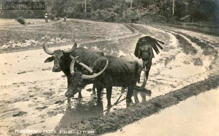 Water Buffalo ploughing paddy fields