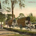 Loading Tea in to Double Bullock Carts