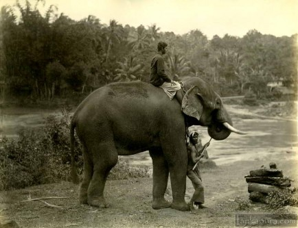 Elephant at work in Sri Lanka