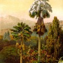 Talipot palm in Ceylon 1895 Botanical Print