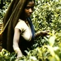 tea country ceylon 1955